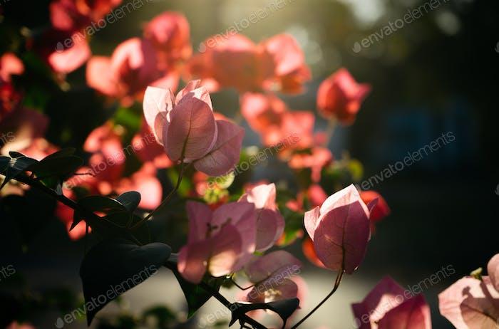 Bougainvillea Blume im Sonnenlicht