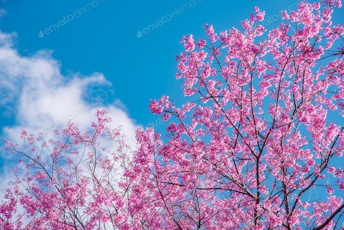 Blüte der wilden Himalaya-Kirschblüte.