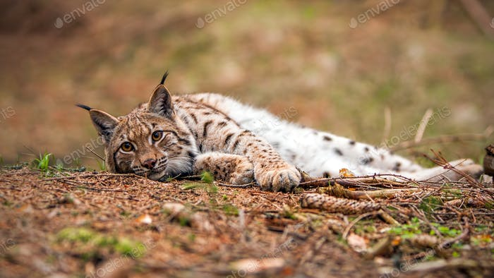 Eurasian lynx laying on the ground in autumn forest with blurred background