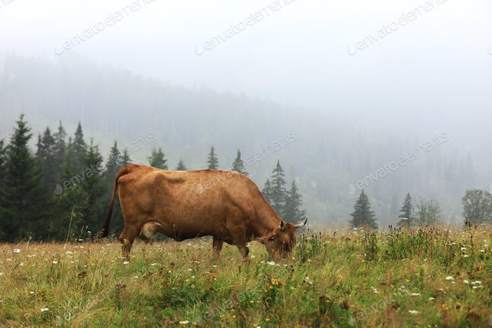 A red cow grazes in a summer meadow with mountains in the background. year of the bull