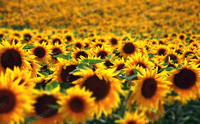 Sunflower field in sunshine with different focus and shallow depth of field