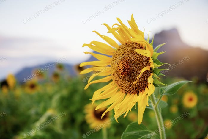 Sunflower with the sunrise