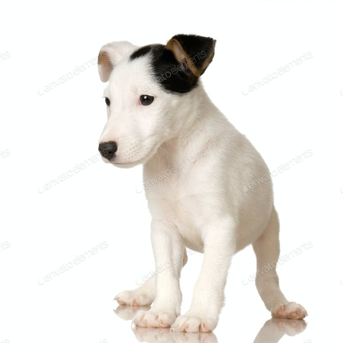 puppy Jack russel