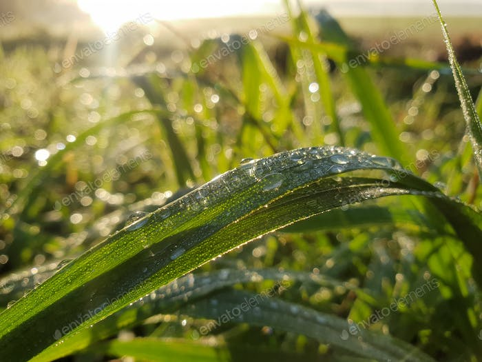 Dew grass in the morning