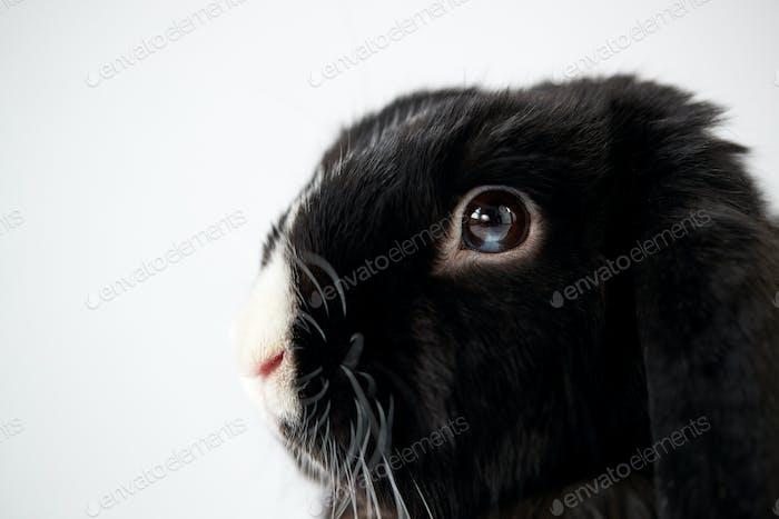 Nahaufnahme von Miniatur-Schwarz-Weiß-Flop-Ohren-Kaninchen liegend auf weißem Hintergrund