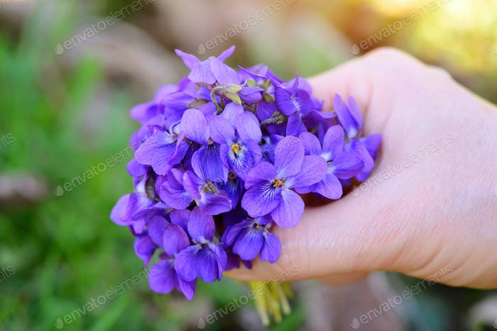 A bouquet of violets (Viola Odorata) in a female hand