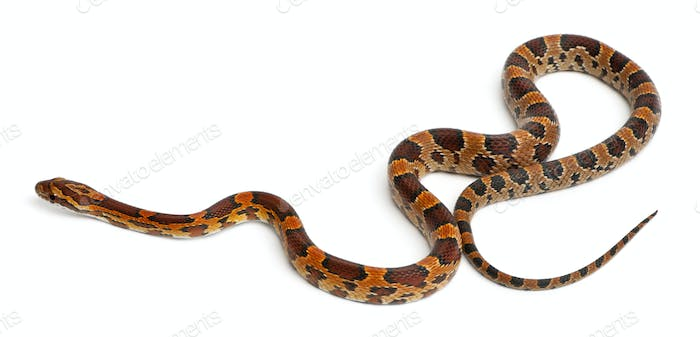 Scaleless Corn Snake, Pantherophis Guttatus, in front of white background