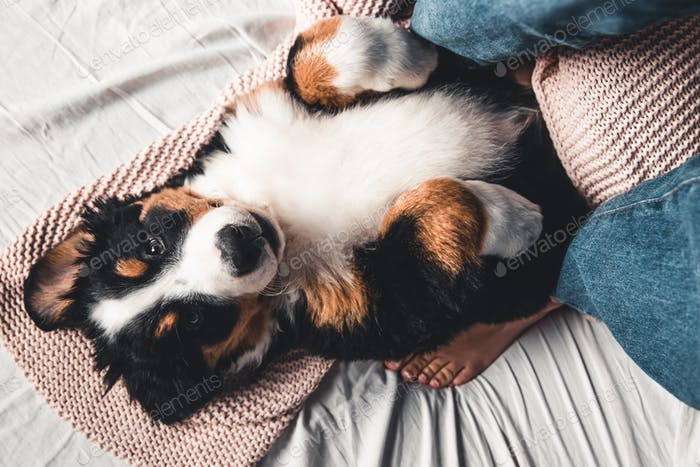 Happy Bernese Mountain Dog dog in luxurious bright colors scandinavian style bedroom with bed