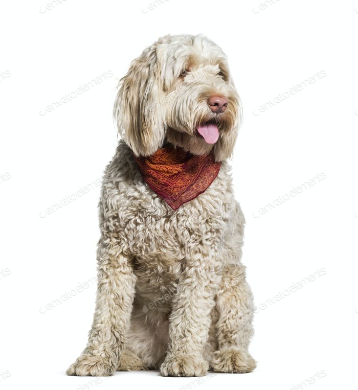 Portuguese Water Dog sitting in studio against white background