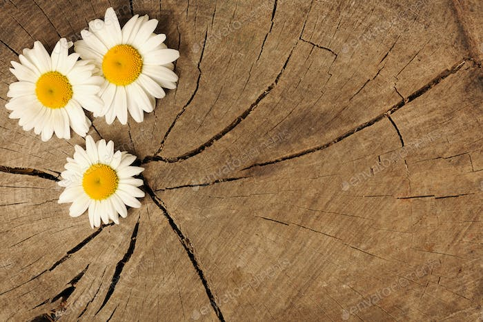daisies on wooden background