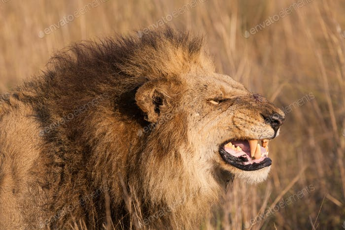 African lion, Duba Plains, Botswana