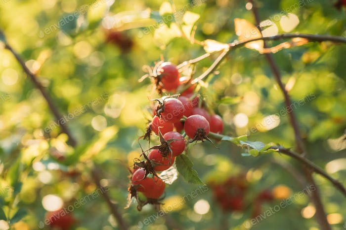 Red Ripe Berries Of Rosa Canina. Rose Hips Of Dog Rose, Is A Variable Climbing, Wild Rose Species