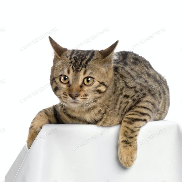 Bengal (cat)