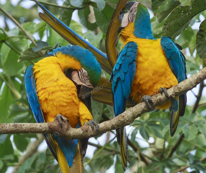 Blue-and-yellow macaws, Pantanal, Brazil