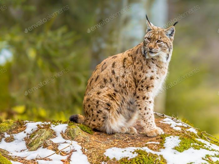 Eurasian Lynx looking backward