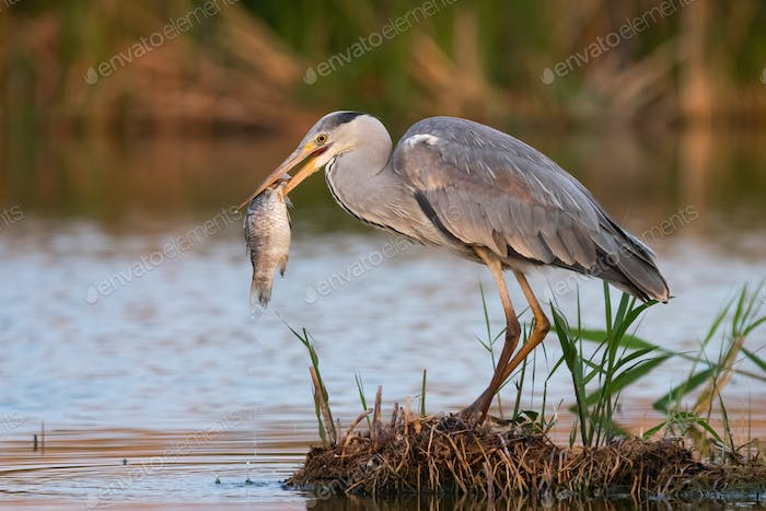 Grey heron (Ardea cinerea) in hunt