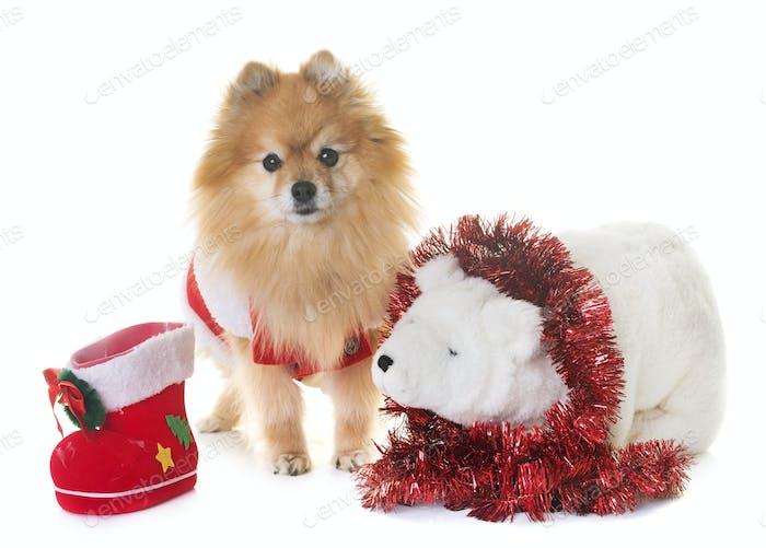 pomeranian spitz and christmas
