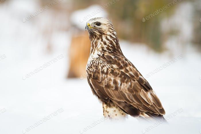 Cruel common buzzard sitting on meadow in winter