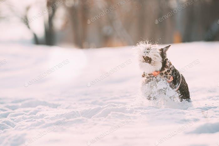 Funny Miniature Schnauzer Dog Or Zwergschnauzer In Outfit