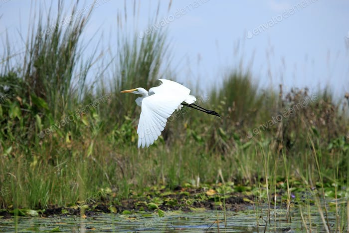 Great White Egret - Lake Opeta - Uganda, Africa