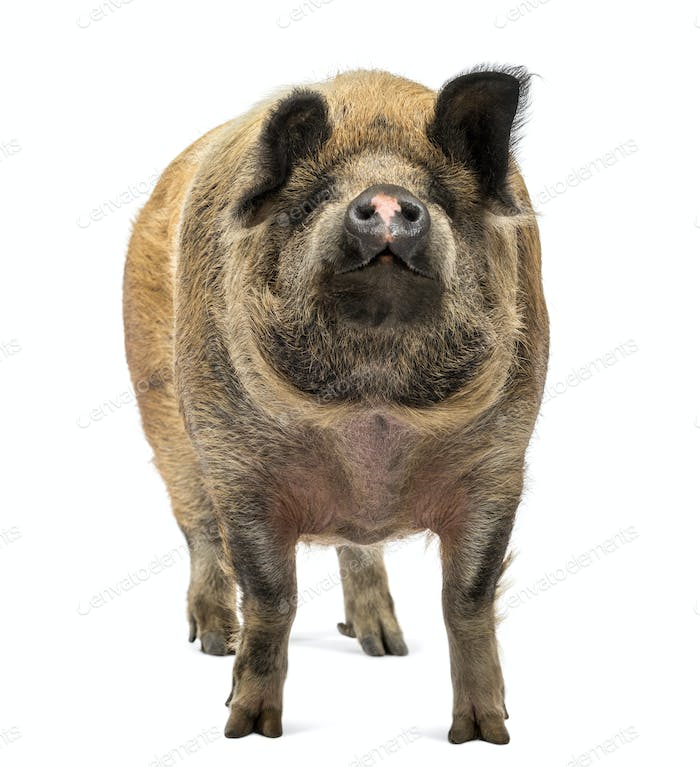 Thumbnail for Domestic Pig standing and looking up, isolated on white