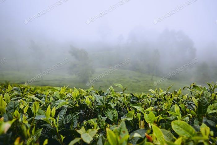 Teeplantagen in Wolken