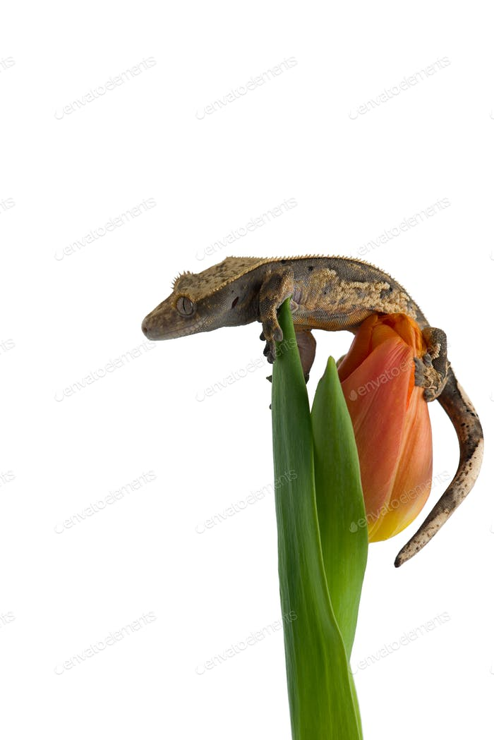 Crested gecko on a Flower isolated on white background