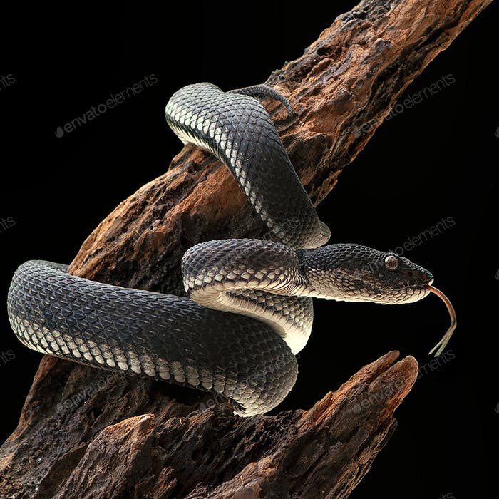 Black Mangrove Pit Viper Snake Purpureomaculatus on a Tree