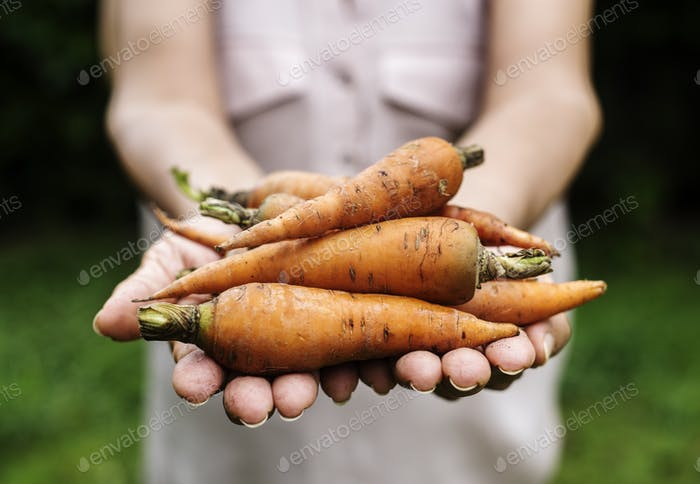 Hands holding carrot organic produce from farm