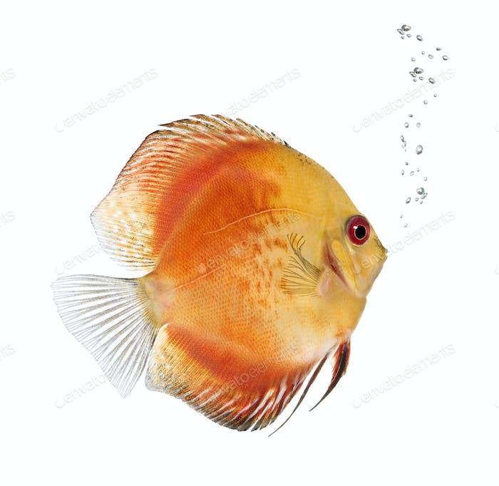Fire Red Discus fish, Symphysodon aequifasciatus,  studio shot