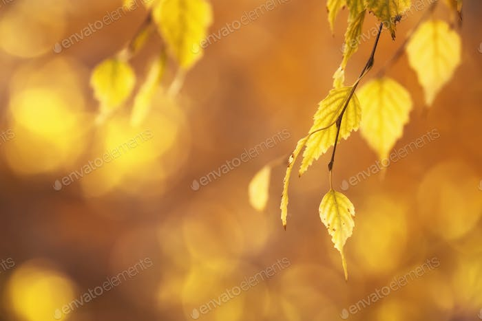 Autumn background with orange, yellow birch leaves and golden sun lights