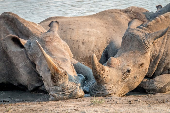 Two White rhinos laying down in the mud.