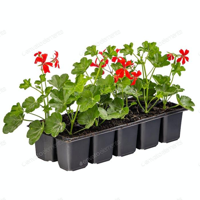 Ivy red geraniums or Pelargonium peltatum