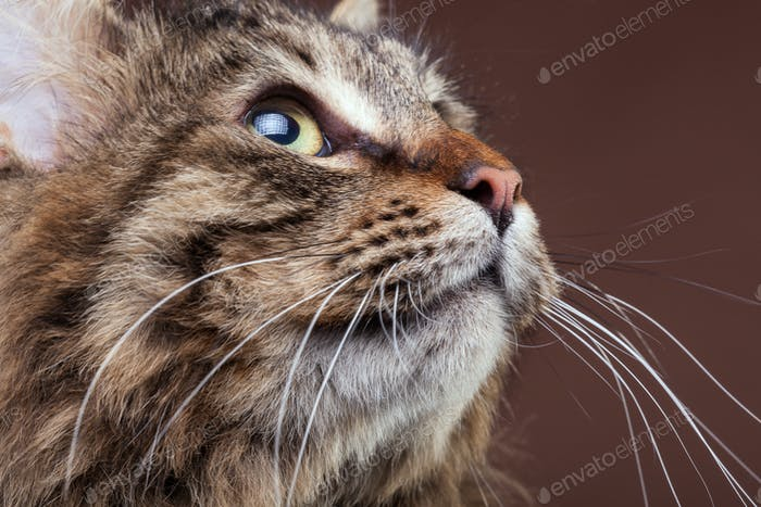 Gorgeous maine coon cat looking up on brown studio background