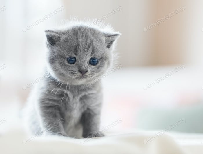 Cute kitten on bed. British Shorthair