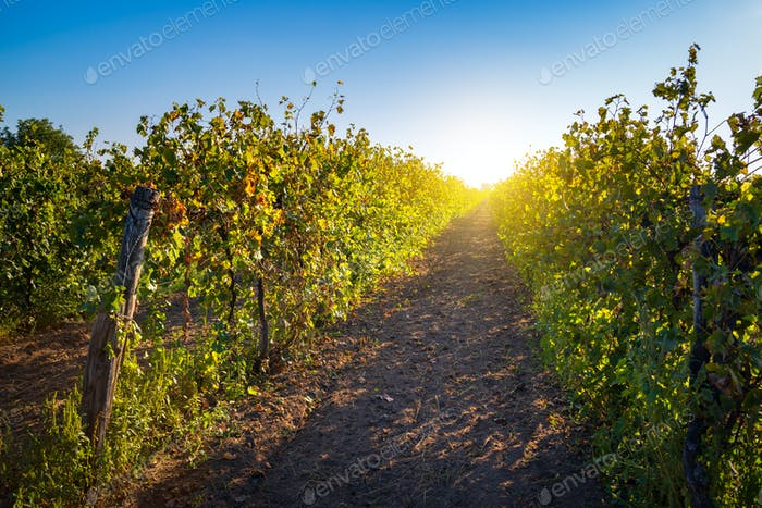 Sunny vineyard landscape