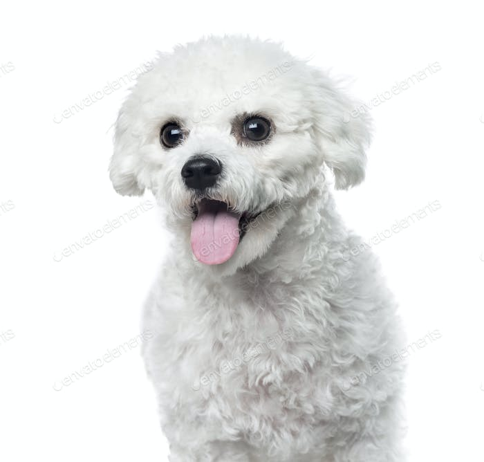 Bichon Frisé panting, isolated on white,1 year old