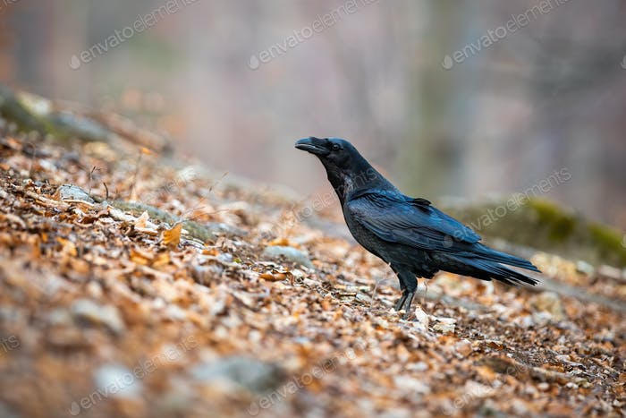 Common raven sitting on leafs in autumn nature