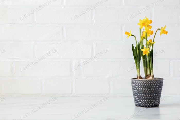 Spring flower daffodil in a pot on a background of a white brick wall.