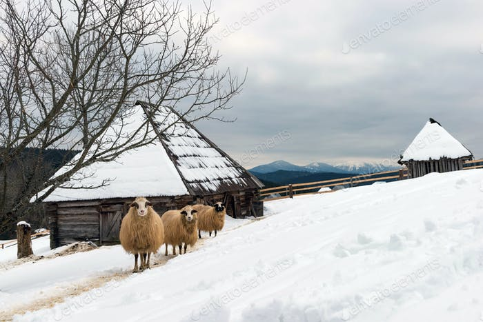 Sheep in winter time