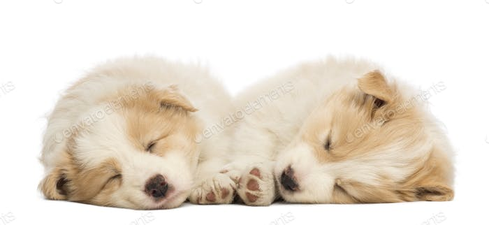Two Border Collie puppies, 6 weeks old, lying and sleeping in front of white background