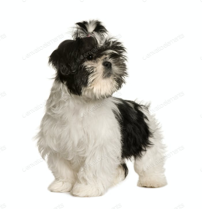 Shih Tzu, 3 months old, standing in front of white background, studio shot