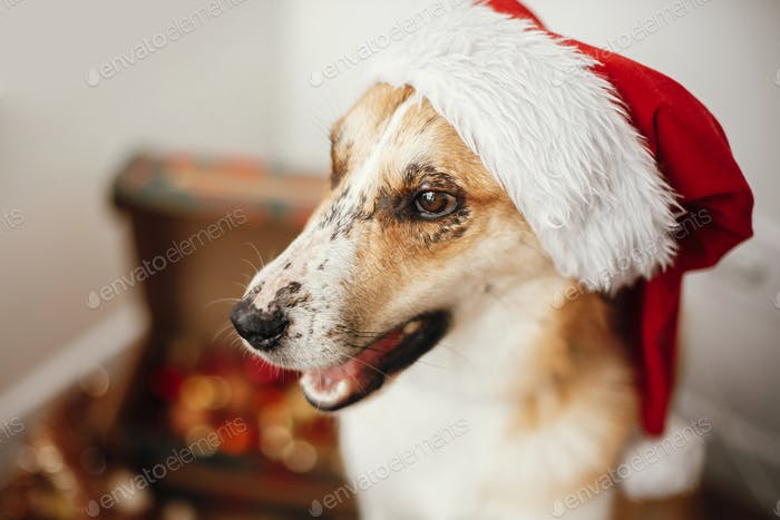 Cute dog in santa hat on eyes and funny emotions