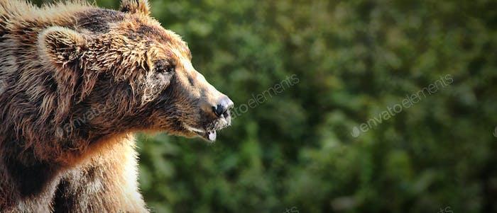 Nahes Porträt eines braunen Bären mit natürlichem Hintergrund