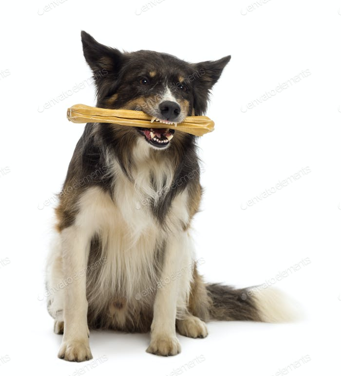 Border Collie sitting and chewing bone against white background