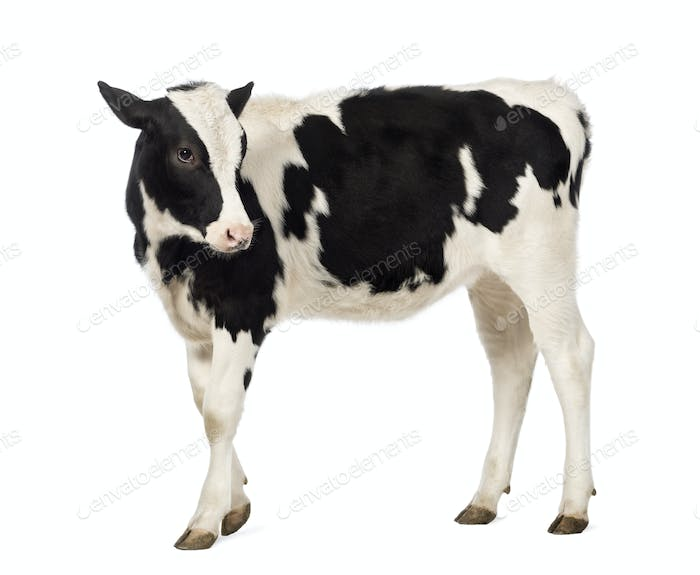 Side view of a Veal, 8 months old, looking backwards in front of white background