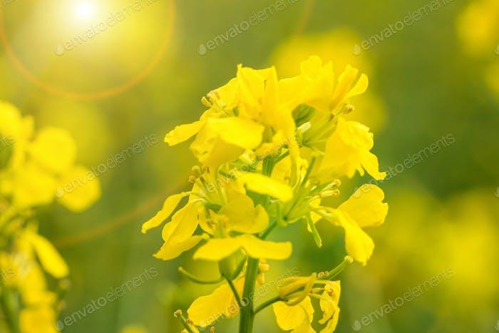 Closeup Bild von Rape Blumen
