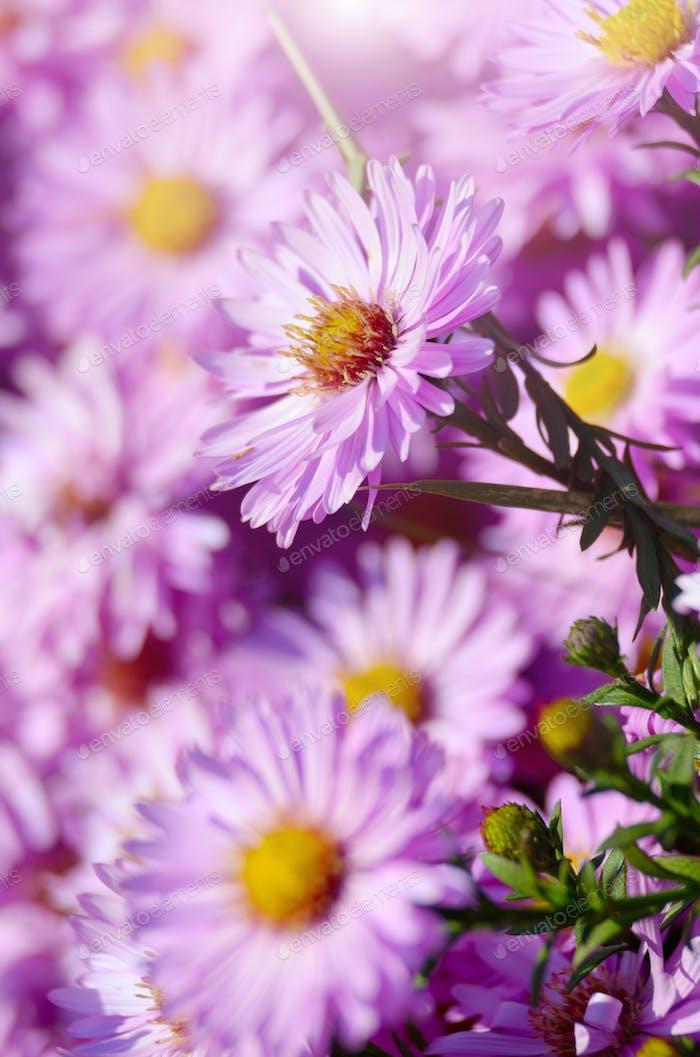 Violette Astern