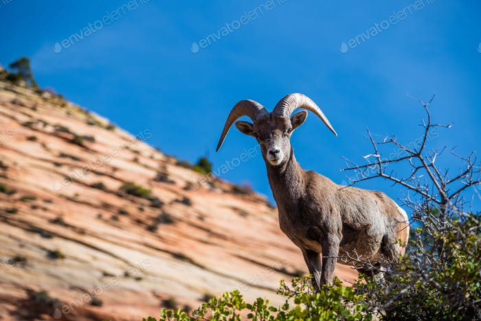 Beautiful Bighorn Sheep standing cliffside along the Superstition Mountains at Zion National Park