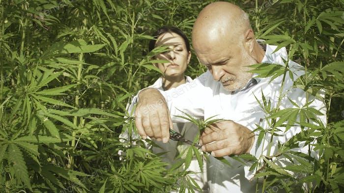 Forscher sammeln Hanfpflanzenproben auf dem Gebiet